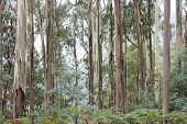image of eucalyptus leaves  - Eucalyptus Forest High Country - JPG