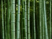stock photo of bamboo forest  - Peaceful bamboo grove in soothing green tones - JPG