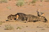 image of jackal  - Hungry Black backed jackal eating on a hollow carcass in the dry desert with mate - JPG