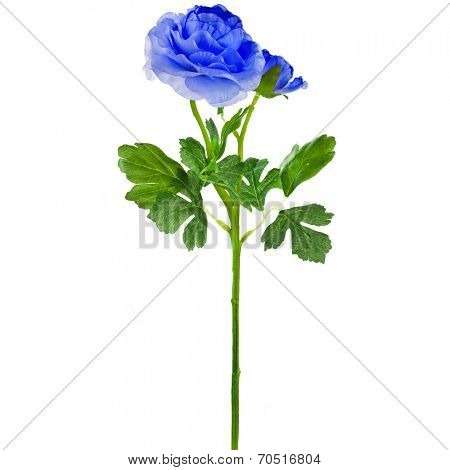 Single Blue  Buttercup Flower Ranunculus isolated on white background