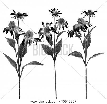 Collectiom set of Echinacea  Flower isolated on White Background