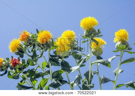 Safflower under sky