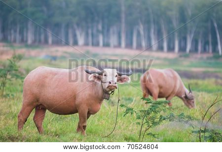 Two Water Buffaloes In Thailand