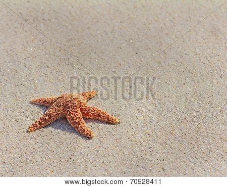 Pacific Sea Star( Asterias Amurensis)