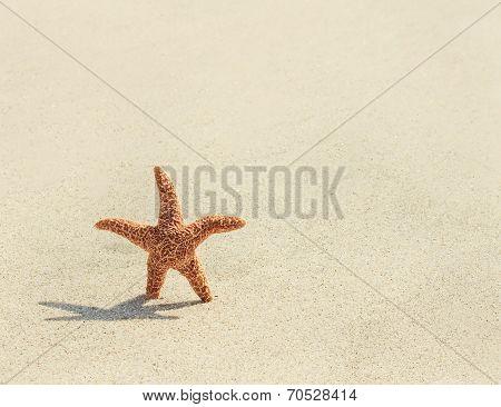 Starfish. Pacific Sea Star( Asterias Amurensis