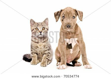Kitten Scottish Straight and pitbull puppy