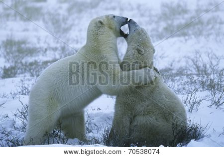 Canada, Churchill, polar bear cubs playing in snow