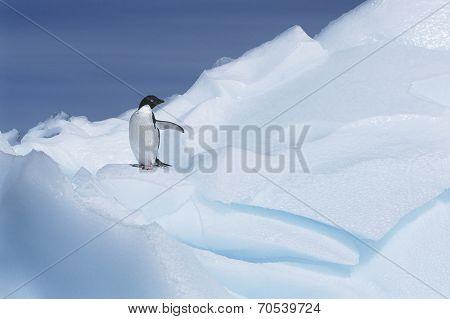 Ad���©lie Penguin (Pygoscelis adeliae) on glacier