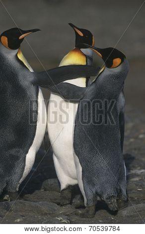 UK, South Georgia Island, three King Penguins on beach, elevated view