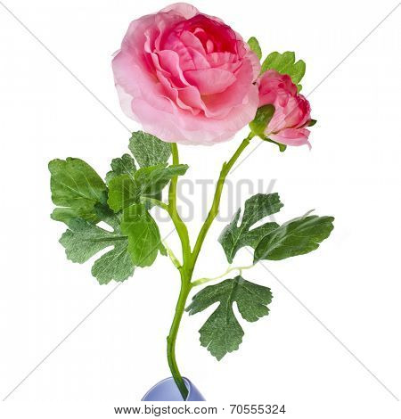 Single Pink  Buttercup Flower Ranunculus isolated on white background