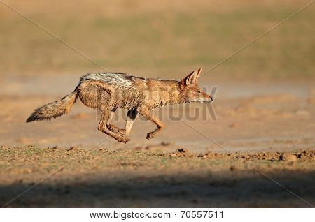 A black-backed Jackal (Canis mesomelas) running at full speed, Kalahari desert, South Africa