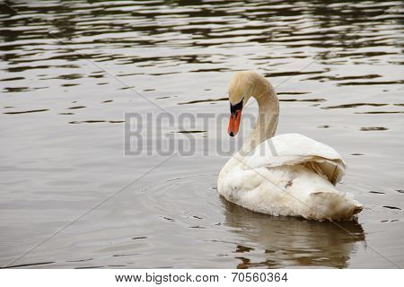 White Swan With Curved Neck