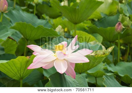 A Withered Pink Lotus