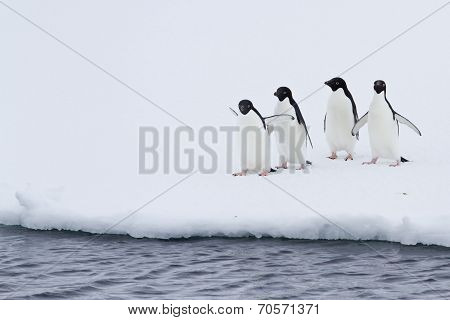 Group Of Adelie Penguins On The Ice Near Open Water