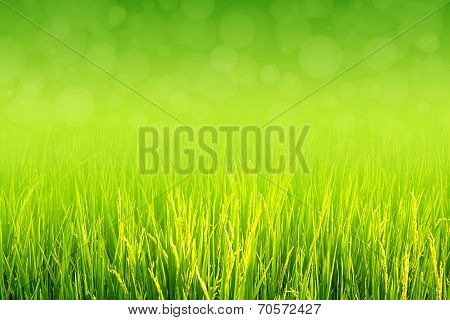 Lush green paddy in rice field