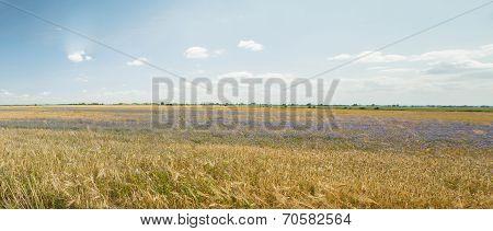 Gold Grains Panorama
