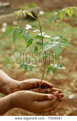 Ayurvedic Neem Plant