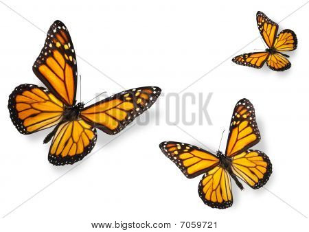 Monarch Butterflies Isolated On White