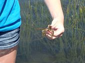 pic of crustations  - Crawfish being held in a teenagers hand with water and reeds in the background - JPG