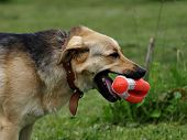 picture of german-sheperd  - Dog running with a toy rugby ball - JPG