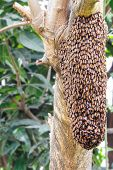 stock photo of swarm  - Swarm of honey bee clinging on tree - JPG