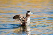 stock photo of duck pond  - Ruddy Duck Displaying in a pond, Arizona, US