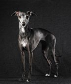 pic of greyhounds  - Adult Italian greyhound posing dark gray canvas background - JPG