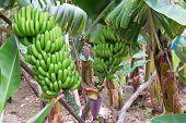 foto of bunch bananas  - Banana plantation at Madeira Island Portugal with ripe bananas - JPG