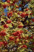 picture of ash-tree  - Fruits of mountain ash tree - JPG