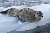 foto of leopard  - large female leopard seal lying on ice floe - JPG