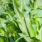 picture of zea  - Bright green stalks of corn in a northern Illinois cornfield - JPG