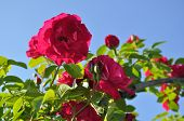 stock photo of climbing roses  - Crimson climbing rose blooms in the garden on blue sky background.