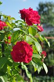 picture of climbing rose  - Red climbing rose blooms in the garden.