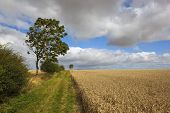 stock photo of ash-tree  - hawthorn hedges and young ash trees by a farm track through golden ripe wheat fields on a windy day - JPG