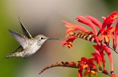 foto of crocosmia  - Annas Hummingbird in flight Eying Crocosmia Flowers - JPG