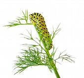 foto of larvae  - The Larva of the Machaon Butterfly Sitting on the Dill - JPG