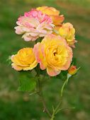 pic of climbing roses  - A rose variety with mixed colors has a beauty of it - JPG