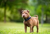 picture of shar-pei puppy  - Shar Pei puppy in garden  - JPG
