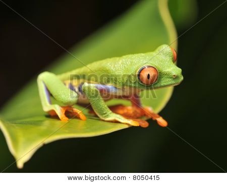 Red Eyed Green Tree Frog, Costa Rica