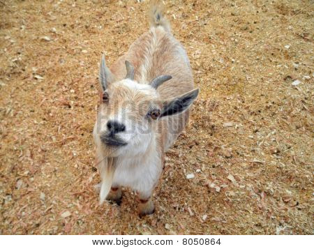 Baby Goat At Petting Zoo