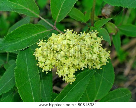 Sambucus (or elderberry)