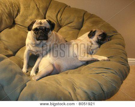 Pug R and R