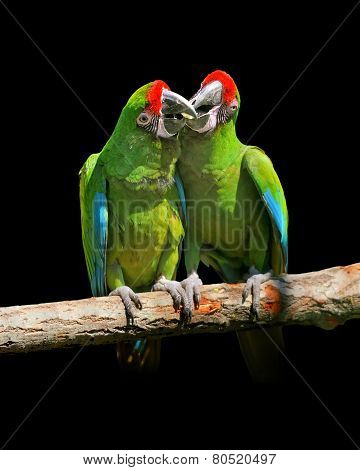 Parrot (severe Macaw)