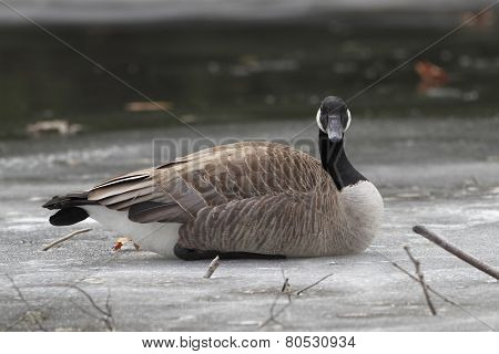 Canada Goose Resting On Frozen River