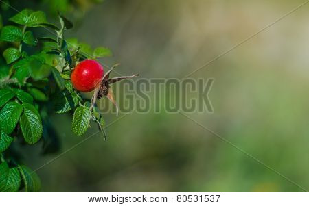 Ripe hip rose