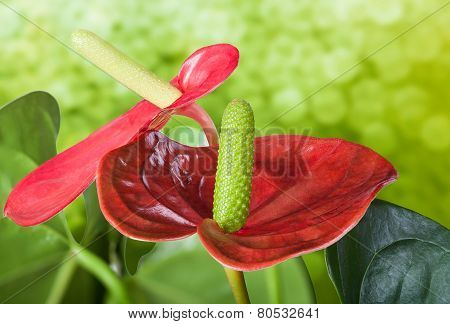 Close Up Of Flamingo Flower