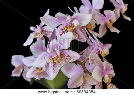 Orchid Phalenopsis Mini White Pink Color Isolated On Black Background