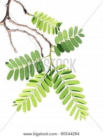 Tamarind Branch