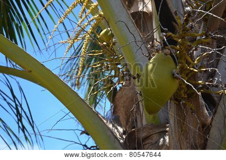 Coconut In A Tree