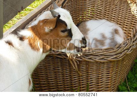 goat cameroon